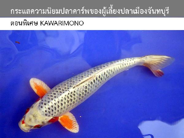 กระแสความนิยมปลาคาร์พของผู้เลี้ยงปลาเมืองจันทบุรี ตอนพิเศษ Kawarimono