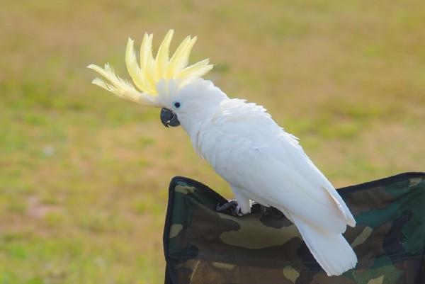 นกกระตั้ว